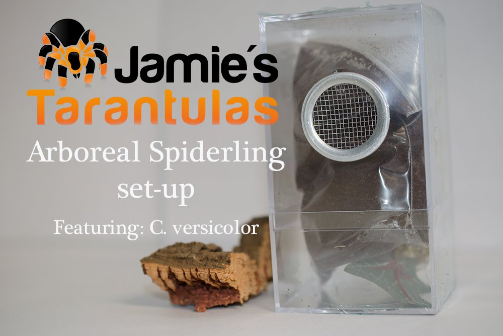 Arboreal Spiderling Kit Set-Up: C. versicolor Part I