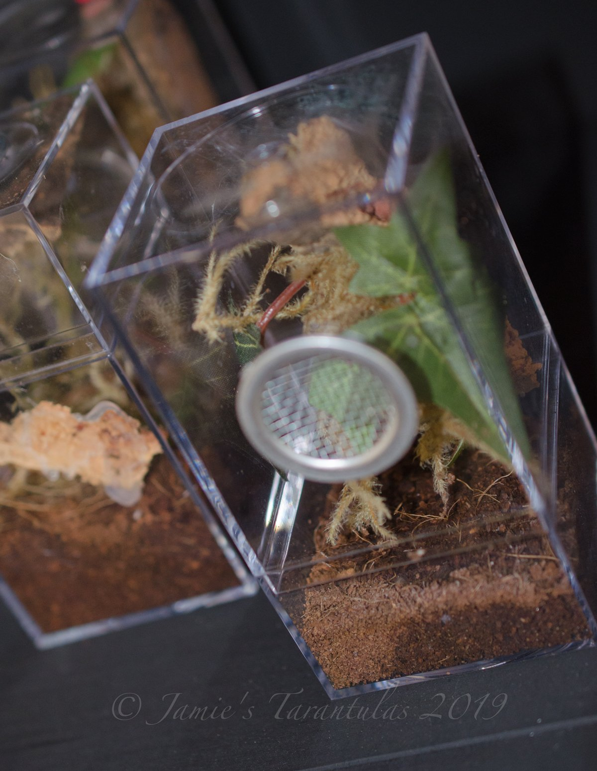 Arboreal Spiderling Kit Set-Up: C. versicolor Part II